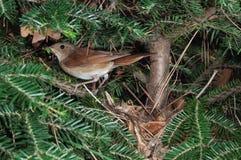 Nachtigall am Nest mit Insektenopfer Stockfoto