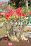 Nachtisch-Rosen. Stockbild