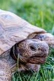Nachtischschildkröte auf grünem Gras Stockfoto