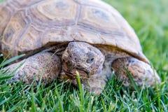 Nachtischschildkröte auf grünem Gras Stockfotografie