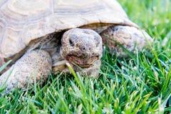 Nachtischschildkröte auf grünem Gras Stockbilder