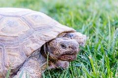 Nachtischschildkröte auf grünem Gras Stockbild