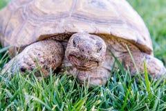 Nachtischschildkröte auf grünem Gras Lizenzfreie Stockfotografie