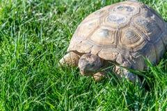 Nachtischschildkröte auf grünem Gras Stockfotos