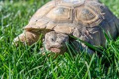 Nachtischschildkröte auf grünem Gras Lizenzfreie Stockfotos