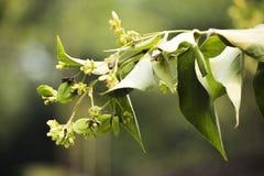Nachtjasmin-Blumenzwillingsgrün stockfotos