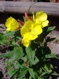 Nachtkerze blüht in der Blüte im Garten Lizenzfreies Stockfoto