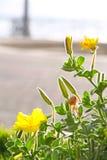 Nachtkerze-Blume Stockfotos