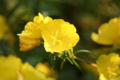 Nachtkerze -. A close-up of a yellow evening primrose blossom Stock Photo