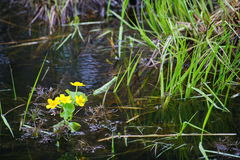 Nachtkerze Primrose βραδιού κίτρινοι λουόμενοι νερού λουλουδιών Στοκ εικόνες με δικαίωμα ελεύθερης χρήσης