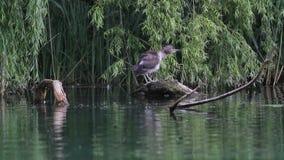 Nachtreiger in het meer van de Reserve van Rieti in Italië stock videobeelden