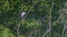 Nachtreiger op de tak onder de bomen in het moeras wordt gelegd dat stock fotografie