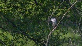 Nachtreiger op de tak onder de bomen in het moeras wordt gelegd dat stock foto's