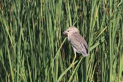 Nachtreiherschwarzes krönte mit dem jungen Vogel des Karpfens Lizenzfreie Stockfotos