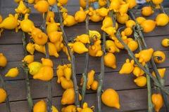 Nachtschademammosum Gele achtergrond Royalty-vrije Stock Fotografie