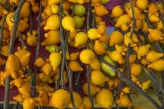 Nachtschademammosum Gele achtergrond Royalty-vrije Stock Foto