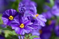 Nachtschatten rantonnetii (Spezies: Lycianthes-rantonnetii), flowerin Stockfotos
