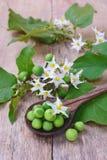 Nachtschatten torvum mit Blumenbündel Lizenzfreies Stockfoto