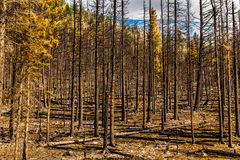 Nachwirkungs-Reynolds Creek Wildland Forest Fire-Glacier Nationalpark 2015 Lizenzfreie Stockbilder