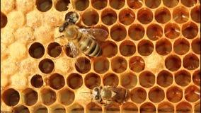Nacimiento de la abeja almacen de video