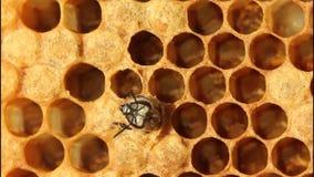 Nacimiento de la abeja almacen de metraje de vídeo