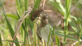 Nacimiento de la libélula Una libélula apenas ha emergido de su piel larval y está esperando las alas para ampliarse y para secar metrajes