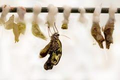 Nacimiento de la mariposa Foto de archivo libre de regalías
