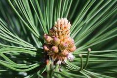 Nacimiento de un cono del pino Foto de archivo