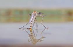 Nacimiento de un mosquito Fotografía de archivo
