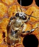 Nacimiento de una abeja. Fotografía de archivo libre de regalías