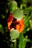 Nacimiento de una amapola Imagen de archivo