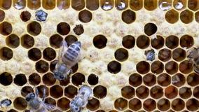 Nacimiento de una nueva abeja almacen de metraje de vídeo