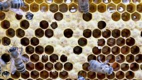 Nacimiento de una nueva abeja almacen de video