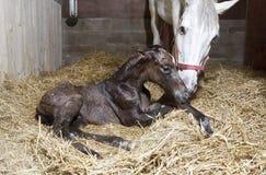 Nacimiento del potro en el establo del caballo fotos de archivo