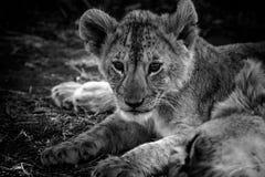 Лев младенца стоковая фотография