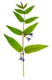 Naciskająca i susząca delikatna kwiat jarmułka, odizolowywająca Zdjęcia Stock