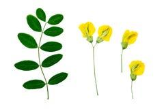 Naciskająca i susząca kwiat akacja fotografia royalty free