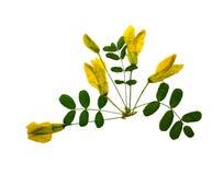 Naciskająca i susząca kwiat akacja, odizolowywająca zdjęcia stock