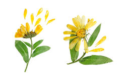 Naciskający i suszący delikatny kwiat calendula officinalis Obrazy Royalty Free