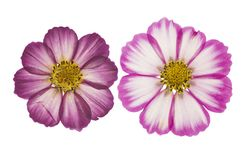 Naciskający i suszący kwiatu kosmos z zielonymi liśćmi, odosobnionymi fotografia stock