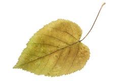 Naciskający i suszący liścia klon, odizolowywający Zdjęcie Stock