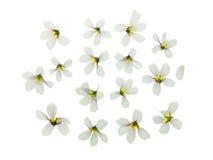 Naciskający i suszący ustalony delikatny kwiatu szczawik odosobniony Zdjęcia Stock