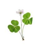 Naciskający i suszący ustalony delikatny kwiatu szczawik odosobniony Zdjęcia Royalty Free
