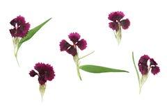 Naciskający i suszący ustalony magenta kwitnie dianthus barbatus Obrazy Royalty Free