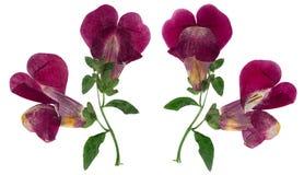 Naciskający i suszący wyżliny lub kwiatu antirrhinum odizolowywający dalej, obraz stock