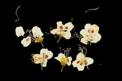 Naciskający i wysuszeni śliwkowi kwiaty Zdjęcia Royalty Free