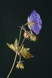 Naciskający kwiat w backlight Zdjęcia Royalty Free