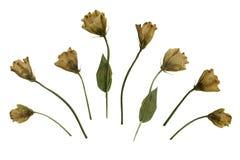 Naciskający Wysuszony herbarium Odizolowywający na Białym tle kolor żółty róża Zdjęcia Stock