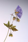 Naciskający kwiat w backlight Zdjęcie Royalty Free