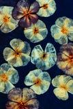 Naciskam suszył floksów kwiaty i pączki Kwiecisty tło, tło dla oshibana, scrapbooking, herbarium Duży set lasowy autum zdjęcie stock